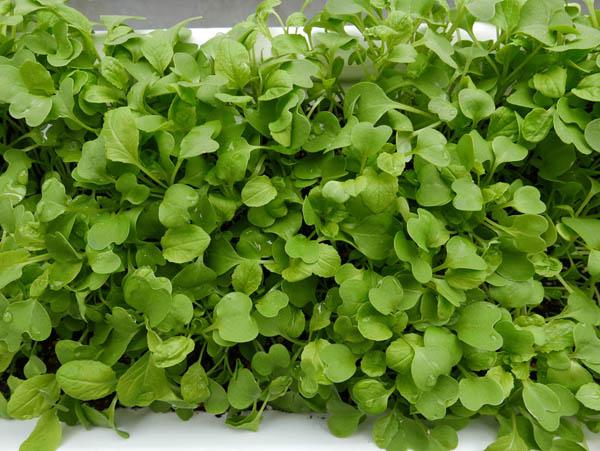 小松菜の若葉