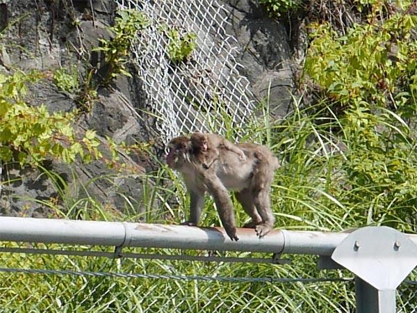三国峠の猿